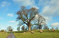 Schapen die onder de oude eiken boom weiden Stock Afbeeldingen