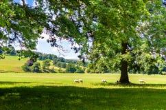 Schapen die onder een eiken boom in de zomer weiden Royalty-vrije Stock Foto