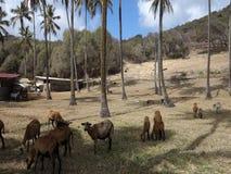 Schapen die onder kokospalmen in de grenadines weiden stock video