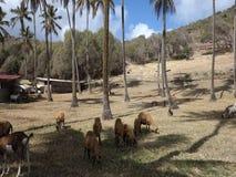 Schapen die onder kokospalmen in de grenadines weiden stock footage