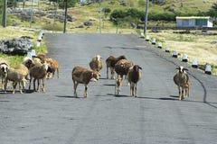 Schapen die op de weg, Rodrigues Island lopen Royalty-vrije Stock Foto