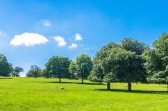 Schapen die op een groen die gebied weiden door beukbomen onder een blauwe de zomerhemel wordt omringd Stock Fotografie