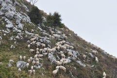 Schapen die op een helling van een berg weiden Royalty-vrije Stock Fotografie