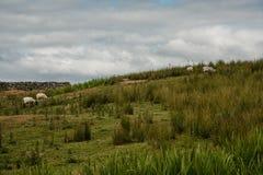Schapen die op een Heuvel weiden stock afbeeldingen