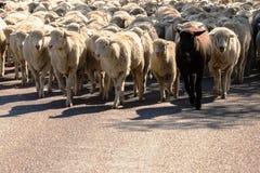 Schapen die op een weg van de veegang worden gehoed stock foto