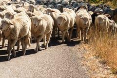 Schapen die op een weg van de veegang worden gehoed stock fotografie