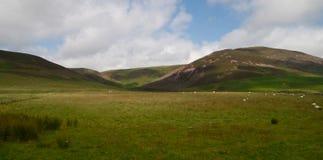 Schapen die op gebied in Schotland weiden Stock Afbeeldingen