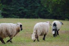 3 schapen die op gras bij berg lopen Royalty-vrije Stock Afbeelding