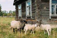 Schapen die op Gras dichtbij Oud Russisch Traditioneel Blokhuis weiden royalty-vrije stock afbeelding