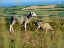 Schapen die op schiereiland Gower in Wales weiden Stock Afbeeldingen