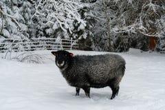 Schapen die in sneeuw bij een landbouwbedrijf lopen Royalty-vrije Stock Foto