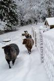 Schapen die in sneeuw bij een landbouwbedrijf lopen Stock Afbeelding