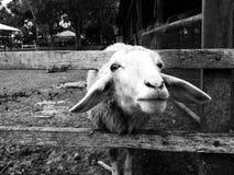 schapen in een kooi Royalty-vrije Stock Fotografie