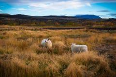 Schapen en een ram in een weide in IJsland stock afbeeldingen