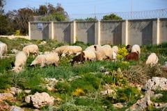 Schapen en geiten die, Malta weiden Stock Afbeelding