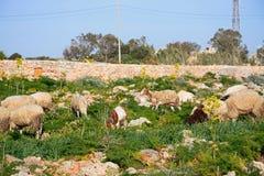 Schapen en geiten die, Malta weiden stock afbeeldingen