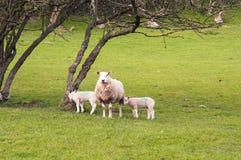 Schapen en jonge lammeren in een de lenteweide in het Engelse platteland stock foto's