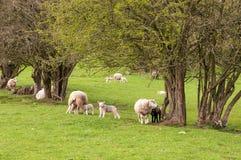 Schapen en jonge lammeren in een de lenteweide in het Engelse platteland royalty-vrije stock afbeelding
