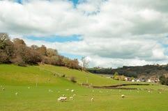Schapen en jonge lammeren op een de lentegebied in het Engelse platteland royalty-vrije stock fotografie
