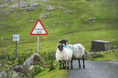 Schapen en lam die zich op die een weg bevinden door weelderige groene weilanden wordt omringd Stock Foto