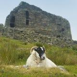 Schapen en Schotse antieke steenbouw, broch Carloway Royalty-vrije Stock Afbeelding