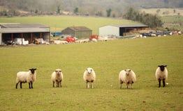 Schapen in Engels landbouwbedrijf Royalty-vrije Stock Fotografie