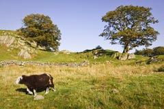 Schapen in Engels platteland Royalty-vrije Stock Foto's