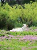 schapen in glassland Stock Afbeeldingen
