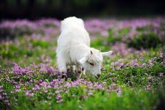 schapen in glassland Royalty-vrije Stock Foto's