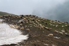 Schapen in het Himalayagebergte Royalty-vrije Stock Afbeelding