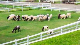 Schapen in het landbouwbedrijf Stock Fotografie