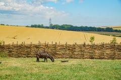 Schapen in het onderwijs Oude Landbouwbedrijf van Butser stock fotografie