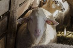 schapen in het platteland Landelijk milieu sheepfold royalty-vrije stock afbeelding
