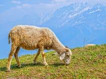 Schapen in Himalayagebergte Stock Afbeelding
