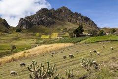 Schapen, kleurrijke gewassen en rotsachtige pieken dichtbij Zumbahua stock foto's
