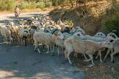 Schapen in Kreta, Griekenland Stock Afbeelding