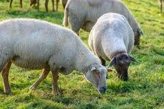 Schapen in kudde, Zeeland, Holland Stock Afbeelding