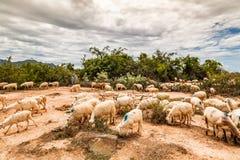Schapen landbouw in Phan belde, centraal van Vietnam stock afbeelding