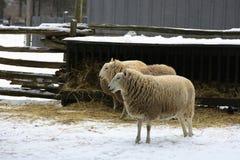 Schapen - landbouwbedrijfdieren. Stock Afbeeldingen