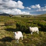 Schapen in landschap van Noorwegen royalty-vrije stock afbeelding
