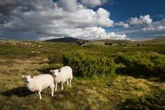 Schapen in landschap van Noorwegen stock foto