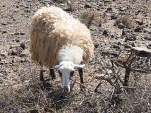 Schapen met massieve wol op de Canarische Eilanden Royalty-vrije Stock Foto
