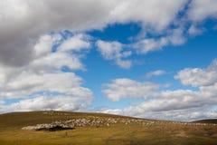 Schapen in Mongoolse Meadowland Royalty-vrije Stock Foto's