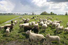 Schapen in Nederlands landschap Stock Afbeelding