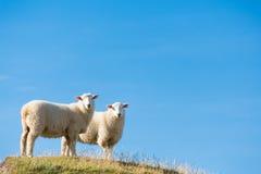 Schapen in Nieuw Zeeland Stock Afbeelding
