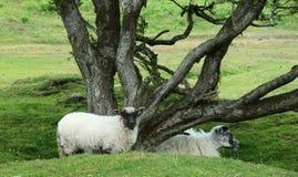Schapen onder knoestige boom stock afbeeldingen