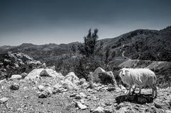 Schapen op de bergen van Kreta, Stock Afbeelding