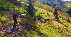 Schapen op een bergweiland Stock Fotografie