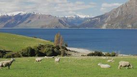 Schapen op een gebied dichtbij Meer Hawea met bergen op de achtergrond, Nieuw Zeeland stock video