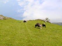 Schapen op grasrijke heuvel in heldere zonneschijn Stock Afbeelding